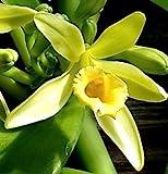 1 Vanilla planifolia Cutting orchid vine Live rare tropical bean pod plant