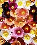 50+ Giant Danish Hollyhock Flower Seeds Mix 11 Ft. Tall
