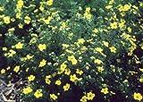 POTENTILLA (DASIPHORA) FRUITICOSA,Goldfinger, Yellow Flowering, (3 Plants)