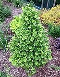 DWARF GINKGO TREE - Ginkgo biloba 'Gnome' - 2 - YEAR PLANT