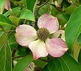 33 Seeds of Cornus capitata, Evergreen Dogwood, Bentham's Cornel
