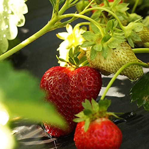 10 Chandler Strawberry Plants - Best southern strawberries, Organic, Junebearing