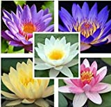 25 Seeds Aquatic Lotus (Mixed Colors) Water Lily Flower