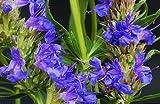 40+ HYSSOPUS OFFICINALIS SPRITE BLUE FLOWER SEEDS / AROMATIC PRENNIAL HERB