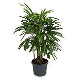 """AMERICAN PLANT EXCHANGE Lady Palm Rhapis Excelsa Indoor/Outdoor Air Purifier Live Plant, 6"""" 1 Gallon Pot"""