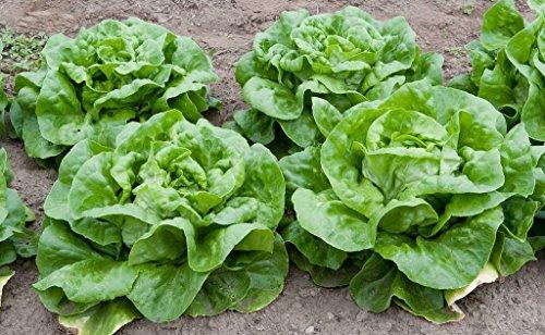 Lettuce Seeds - Butterhead, Buttercrunch - Heirloom - Liliana's Garden