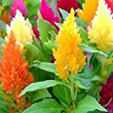 Celosia Seeds - Mixed Pampas Plume - Packet, Large/Showy Mixed Color Blooms are Long Lasting, Flower Seeds