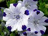 2000 FIVE SPOT Flower Seeds - Nemophila maculata low spreading habit. grows very fast