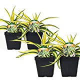 Set of 4 Yucca Color Guard Perennial Plants Adams Needle Plant Potted Non-GMO Easy To Grow