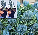 Two Blue Chalk Stick Succulent Plants Senecio Mandraliscae in 2.5 inch pots