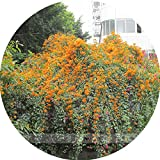 Rare Chinese Orange Pyrostegia venusta Perennial Climbing Plant Seeds, Professional Pack, 5 Seeds / Pack, Very Beautiful Garden