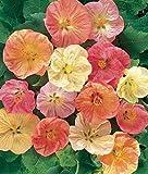 Flowering Maple 20 Seeds - Abutilon - Tropical