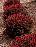 Japanese Barberry (dwarf) Live Plant fit 1 Gallon a.k.a Berberis thunb. 'Crimson Pygmy' w Free Decorated Poly Bag with Customize Quote