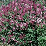 "Korean Lilac Syringa pubescens patula ""Miss Kim"" BULK wholesale 1000+ seeds"