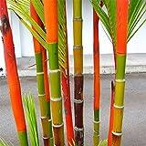 100Pcs Black Purple Green Phyllostachys Pubescens Moso Bamboo Seeds Garden Plant