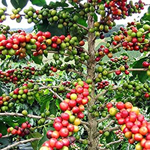 Amazon.com : Hirt's Arabica Coffee Bean Plant - 3