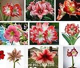 2015 100pcs Amaryllis seeds, native species Hippeastrum petals Amaryllis -flower seeds Bonsai Plant
