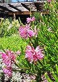 Erica Verticillata ~ Pink Marsh Heath ~ Amazing Tropical Shrub ~ 5 Tiny Rare Seeds ~