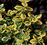 "Gold Splash Euonymus fortunei - 4"" Pot - Wintercreeper - Proven Winners"