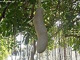 25 Kigelia pinnata Seeds , sausage tree Seeds