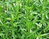 Seeds Herb Tarragon(Artemisia dracunculus) Russian Heirloom Herb Seed