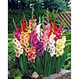 75 Mixed Large Flowering Gladiolus Bulbs - 10/14 cm - Super Value!
