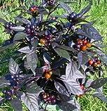 Black Pearl Hot Pepper - 4 Plants - Ornamental/Edible - The Hottest Pearl Pepper