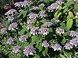 1 Starter Plant of Hydrangea Sargentiana - Hydrangea aspera 'Sargenteana'