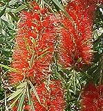 RED CLUSTER Clemson Bottlebrush Live Tree Plant Callistemon Rigidus Unusual Flowers Attract Hummingbirds Starter Size 4 Inch Pot Emerald Tm