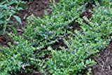 Costa Farms - Live Cuphea, Mexican Heather, Live Outdoor Plant in 1.00 qt Grower Pot, Purple, 4 pack