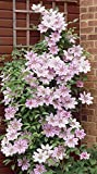 Van Zyverden Nelly Moser Clematis Plant (Set of 1), White/Pink