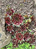 "LIVE PLANTS From My Garden Hens & Chicks Sempervivum""Hopewell"" Succulents Plantings Bare Root Plants Not Seeds Hen-and-Biddies"