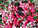 0 Thai Carissa Carandas Seeds,Very Rare Exotic Lime Berry,Karonda Carunda Fruit