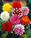 Van Zyverden Dahlias Decorative Mixed Flower Bulbs