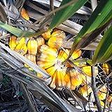 Pandanus Palm Seeds (Pandanus utilis) 5+ Rare Tropical Palm Tree Seeds + FREE Bonus 6 Variety Seed Pack - a .95 Value!!