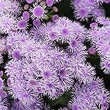 Ageratum - Blue Horizon Flower Garden Seeds - Approx 1000 Seeds - Ageratum houstonianum