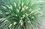 4 Bare Root of Pennisetum Orientale - Orient Fountain Grass