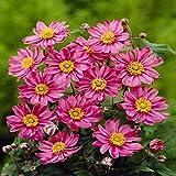 Anemone hybrida Pamina - 3 plants
