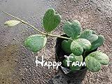 HOO PRODUCTS - Flower seeds 20pcs/bag Hoya kerrii seeds (December orchid) Home Garden Supplies Bonsai Loss Promotion!