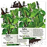 Seed Needs, Holy Basil / Tulsi Herb (Ocimum sanctum) Twin Pack of 500 Seeds Each Non-GMO