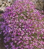 Aubrieta hibrida Pink Flower Seeds from Ukraine