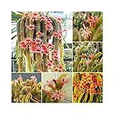Hildewintera Aureispina * Cleistocactus Winteri * Monkey Tail Cactus * 50 Seeds