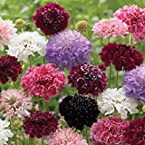 Flower Seeds - Pincushion Flower - Scabiosa atropurpurea - Imperial Mix - Annual - Liliana's Garden
