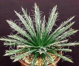 AGAVE TOUMEYANA bella exotic aloe exotic succulent rare cactus seed 100 SEEDS