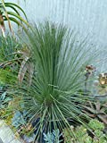 Mexican Grass Tree Aka Dasylirion Longissima Live Plant Cactus Plant Fit 01 Gallon Pot