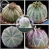 TopOne Sales Euphorbia obesa Basketball Sea Urchin Seeds, Professional Pack, 2 Seeds, Living Baseball Golf ball succulent plant