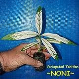 ~NONI~ Variegated Tahitian Morinda Citrifolia Fruit Tree 8-12+in Starter Plant