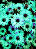 30pcs/bag African rare Blue Eyed Daisy Seeds Osteospermum seeds bonsai Potted Flowering Plants for Home Garden 4