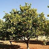 African Marula Tree Seeds (Sclerocarya birrea) 2+ Very Rare Medicinal Tree Seeds