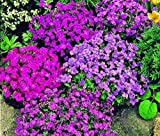AUBRIETA ROCK CRESS ROYAL MIX Aubrieta Hybrida - 500 Bulk Seeds